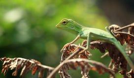 Os lagartos fotos de stock royalty free