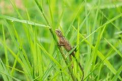 Os lagartos amarelos estão na grama na natureza foto de stock royalty free