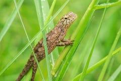 Os lagartos amarelos estão na grama na natureza imagem de stock