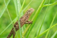 Os lagartos amarelos estão na grama na natureza imagem de stock royalty free