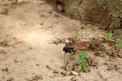 Os lagartos comem insetos no jardim imagem de stock royalty free