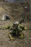 Os lagartos são suspeitos Foto de Stock