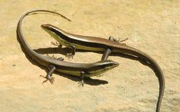 Os lagartos selvagens apreciam o sol. Fotos de Stock
