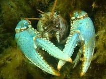 Os lagostins do lago Fotografia de Stock