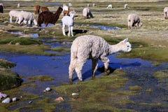 Os lamas domésticos do rebanho pastam nas montanhas, Peru Fotografia de Stock Royalty Free