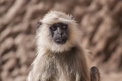 Os langurs cinzentos indianos ou os langurs de Hanuman Monkey (Semnopithecus otorrinolaringológico Imagem de Stock Royalty Free