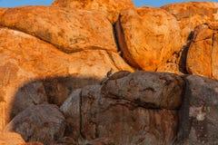 Os lateralis preto-flanqueados do Petrogale do rocha-ualabi nos diabos marmoreiam a reserva da conservação, Território do Norte,  fotografia de stock royalty free
