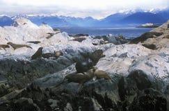 Os leões de mar do sul em rochas aproximam o canal do lebreiro e constroem uma ponte sobre ilhas, Ushuaia, Argentina do sul Foto de Stock Royalty Free