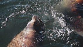 Os leões de mar enormes nadam nas águas frias do oceano gelado na região de Kamchatka vídeos de arquivo