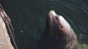 Os leões de mar espertos nadam nas águas frias do Oceano Pacífico gelado na região de Kamchatka vídeos de arquivo