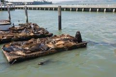 Os leões de mar nos cais em San Francisco Fotografia de Stock