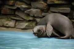 Os leões de mar novos de Califórnia estão jogando rasamente na água fotografia de stock royalty free