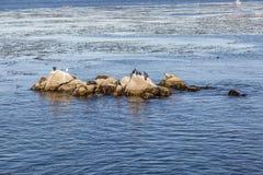 Os leões de mar, os cormorões e outros pássaros relaxam em uma rocha no oce Imagem de Stock Royalty Free