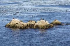 Os leões de mar, os cormorões e outros pássaros relaxam em uma rocha no oce Fotografia de Stock Royalty Free