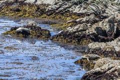 Os leões de mar perto de Cypress apontam, movimentação de 17 milhas Foto de Stock