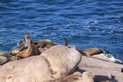 Os leões de mar tomam sol no sol nas rochas Foto de Stock Royalty Free