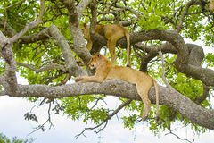 Os leões descansam na árvore um o dia quente em Serengeti Imagens de Stock
