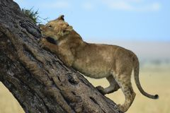 Os leões levantam uma árvore imagens de stock