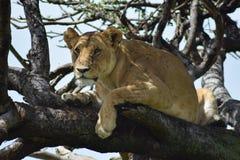 Os leões levantam uma árvore Foto de Stock Royalty Free
