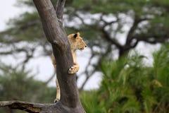 Os leões olham para fora o cargo Imagem de Stock