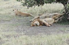 Os leões orgulham-se o descanso Imagem de Stock