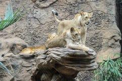 Os leões que restling no jardim zoológico em Loro estacionam, Puerto de la Cruz imagens de stock