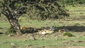Os leões relaxam sob uma árvore no Masai Mara National Park Foto de Stock