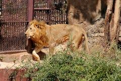 Os leões vivem no jardim zoológico em Tailândia Ásia foto de stock