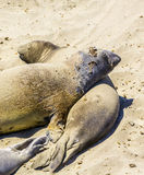 Os leões-marinhos relaxam e dormem na praia arenosa Foto de Stock