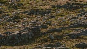 Os lobos árticos, o lobo correm no rebanho, tentando lavar o fraco ou o lento Canadá norte imagem de stock