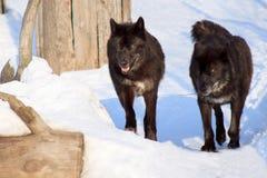 Os lobos canadenses pretos do Wo em uma manhã andam Fotos de Stock