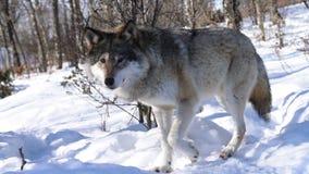 Os lobos do norte vídeos de arquivo