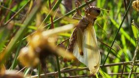 Os locustídeo transformam no adulto voado e com asas podem tomar aos céus em sua busca para terras de alimentação novas , fotografia de stock