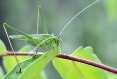 Os locustídeo verdes comem uma folha verde foto de stock royalty free