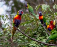 Os lorikeets do arco-íris empoleiraram-se em um ramo com o um que aterra em um ramo Foto de Stock Royalty Free