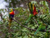 Os lorikeets do arco-íris empoleiraram-se em um ramo com o um que voa fora Fotografia de Stock Royalty Free