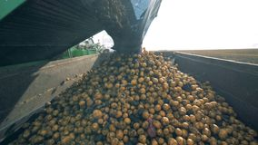Os lotes das batatas estão obtendo deixaram cair por uma máquina de coleta em um recipiente vídeos de arquivo