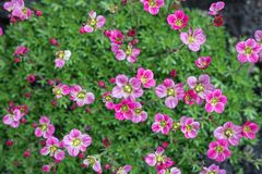 Os lotes de flores cor-de-rosa brilhantes fecham-se acima no fundo da grama verde fotografia de stock
