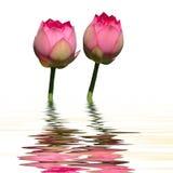 Os lótus gêmeos molham a reflexão Imagem de Stock Royalty Free