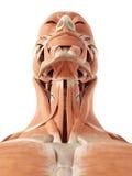 Os músculos do pescoço ilustração royalty free