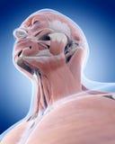 Os músculos do pescoço ilustração stock