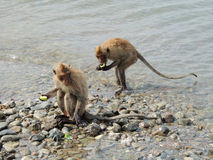 Os macacos comem o alimento na pedra na água Fotografia de Stock Royalty Free