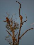 Os macacos holandeses sentam-se em uma árvore alta Kumai, Indonésia Imagem de Stock Royalty Free