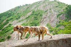 Os macacos levam jovens Templo de Galta na Índia Imagens de Stock