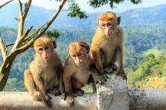 Os macacos novos sentam-se no fundo das montanhas e da floresta úmida Foto de Stock Royalty Free