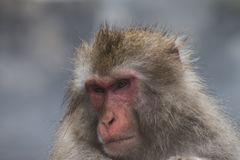 Os macacos que da neve os Macaques japoneses se banham onsen dentro Hot Springs de Nagano, Japão imagem de stock
