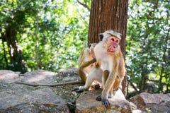 Os macacos que sentam-se na pedra, fruto roubam em Ceilão Fotos de Stock
