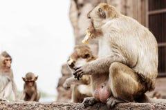 Os macacos sentam-se estão comendo Foto de Stock Royalty Free