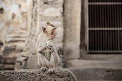 Os macacos sentam-se na construção Fotos de Stock