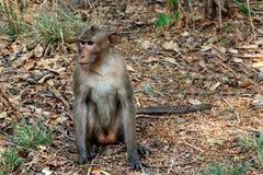 Os macacos sentam-se no selvagem Imagens de Stock